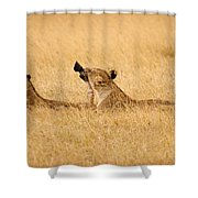 Hungry Lions Shower Curtain by Adam Romanowicz