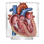 Interior Of Human Heart Shower Curtain by Stocktrek Images