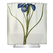 Iris Xyphioides Shower Curtain by Pierre Joseph Redoute