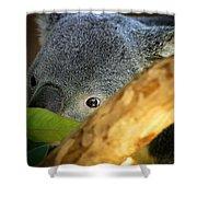 Koala Bear  Shower Curtain by Anthony Jones