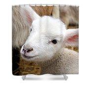 Lamb Shower Curtain by Michelle Calkins