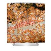 Longnose Hawkfish Shower Curtain by Dave Fleetham - Printscapes
