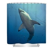 Male Great White Sharks Belly Shower Curtain by Todd Winner