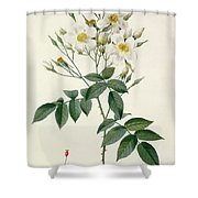 Musk Rose Shower Curtain by Pierre Joseph Redoute