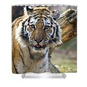 Nice Kitty Shower Curtain by Karol  Livote