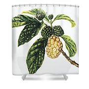 Noni Fruit Shower Curtain by Hawaiian Legacy Archive - Printscapes
