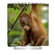 Orangutan Pongo Pygmaeus Baby Swinging Shower Curtain by Christophe Courteau