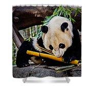 Panda Bear Shower Curtain by Robert Bales