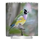 Perched Gouldian Finch Shower Curtain by Glennis Siverson