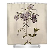 Phlox Reptans Shower Curtain by Pierre Joseph Redoute