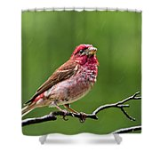 Rainy Day Bird - Purple Finch Shower Curtain by Christina Rollo