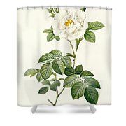 Rosa Alba Flore Pleno Shower Curtain by Pierre Joseph Redoute