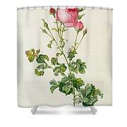 Rosa Centifolia Bipinnata Shower Curtain by Pierre Joseph Redoute