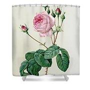 Rosa Centifolia Bullata Shower Curtain by Pierre Joseph Redoute