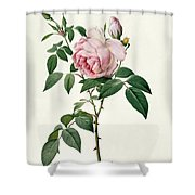 Rosa chinensis and Rosa gigantea Shower Curtain by Joseph Pierre Redoute