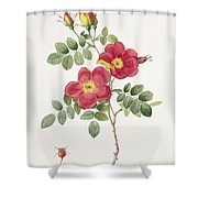 Rosa Eglantera Punicea Shower Curtain by Pierre Joseph Redoute