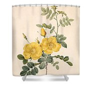 Rosa Eglanteria Shower Curtain by Pierre Joseph Redoute