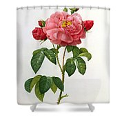 Rosa Gallica Aurelianensis Shower Curtain by Pierre Joseph Redoute