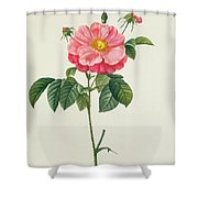 Rosa Gallica Flore Marmoreo Shower Curtain by Pierre Joseph Redoute