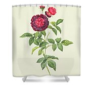 Rosa Gallica Gueriniana Shower Curtain by Pierre Joseph Redoute