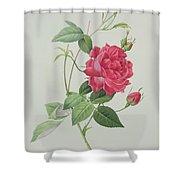 Rosa Indica Cruenta Shower Curtain by Pierre Joseph Redoute