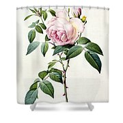 Rosa Indica Fragrans Shower Curtain by Pierre Joseph Redoute