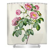 Rosa Mollissima Shower Curtain by Claude Antoine Thory