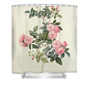 Rosa Multiflora Carnea Shower Curtain by Pierre Joseph Redoute