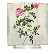 Rosa Sepium Flore Submultiplici Shower Curtain by Pierre Joseph Redoute