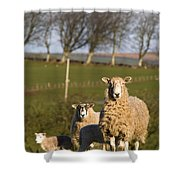 Sheep, Lake District, Cumbria, England Shower Curtain by John Short