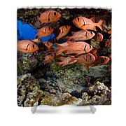 Shoulderbar Soldierfish Shower Curtain by Dave Fleetham - Printscapes