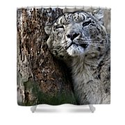 Snow Leopard Shower Curtain by Karol  Livote