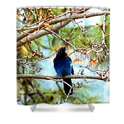 Stellar Jay Majesty Shower Curtain by Will Borden