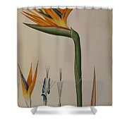 Strelitzia Reginae Shower Curtain by Pierre Joseph Redoute