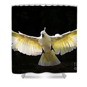 Sulphur Crested Cockatoo In Flight Shower Curtain by Avalon Fine Art Photography