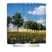 Sunflower Field 2 Shower Curtain by SK Pfphotography