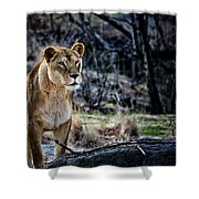 The Lioness Shower Curtain by Karol  Livote