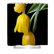 Three Drooping Tulips Shower Curtain by Garry Gay