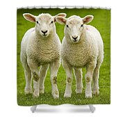 Twin Lambs Shower Curtain by Meirion Matthias
