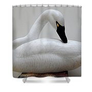 Whistling Tundra Swan Preening Shower Curtain by Robert G Kerr