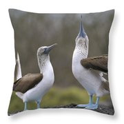 Blue-footed Boobies Courting Galapagos Throw Pillow by Tui De Roy
