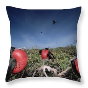 Great Frigatebird Males In Courtship Throw Pillow by Tui De Roy