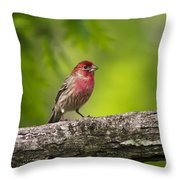 House Finch Throw Pillow by Christina Rollo