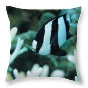A Humbug Dascyllus Fish Swims Throw Pillow by Tim Laman
