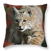 Bobcat Felis Rufus Throw Pillow by David Ponton