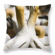 Gannets, Parc National De Throw Pillow by Yves Marcoux