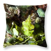 Green Arrowhead Crab, Papua New Guinea Throw Pillow by Steve Jones