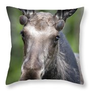 One Year Old Bull Moose With Growing Throw Pillow by Philippe Henry