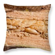 Parasitized Ash Borer Larva Throw Pillow by Science Source