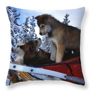 Siberian Husky Puppies Play On A Snow Throw Pillow by Nick Norman